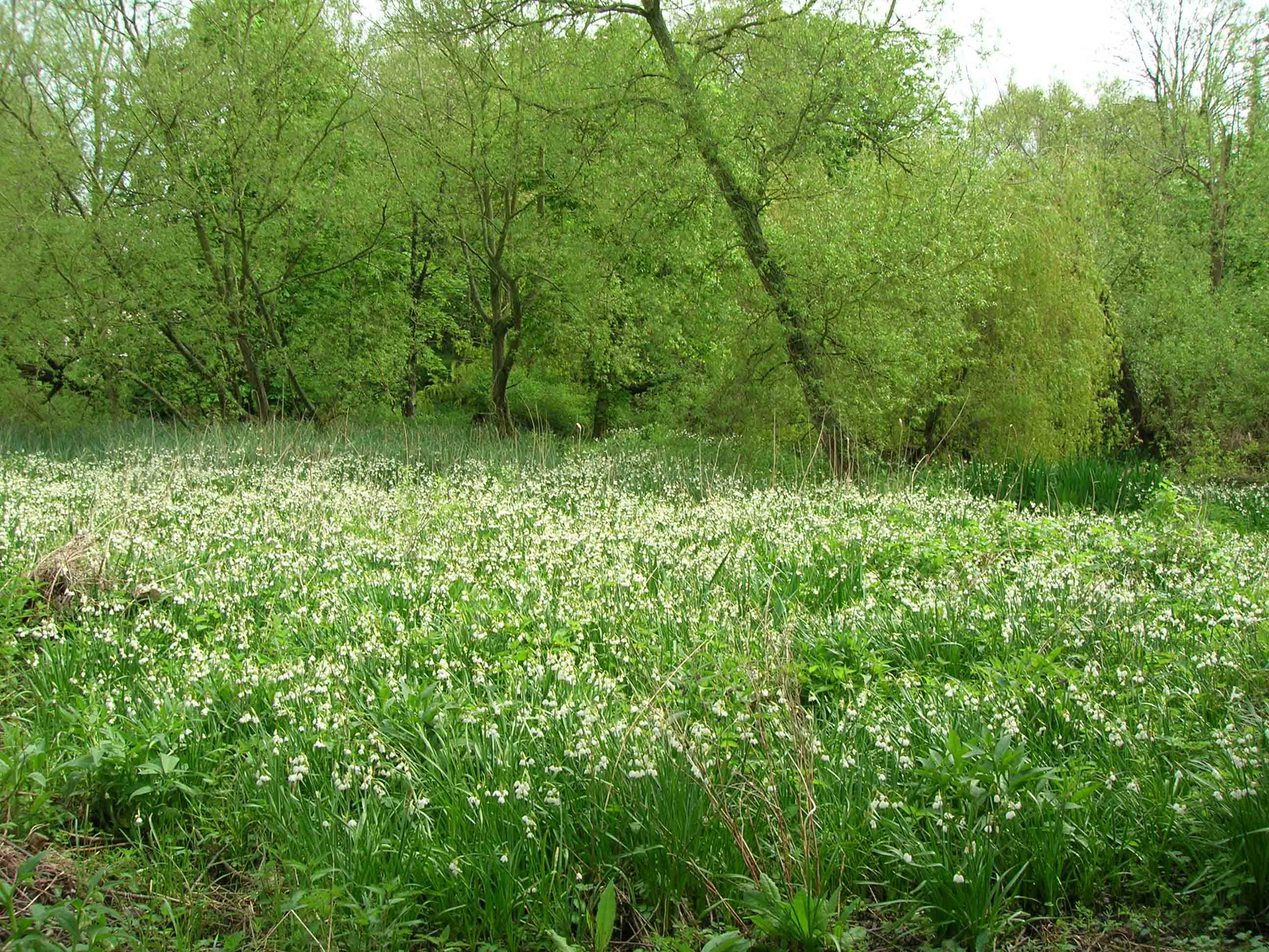 Withymead Loddon Lily Open Days @ Withymead Nature Reserve,  | Goring | England | United Kingdom